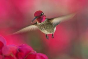 How do hummingbirds fly in wind and rain?