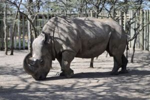 World's last male northern white rhino is gravely ill. Is there hope?