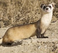 Biologists Hope Candy-Shooting Drones Will Save Endangered Ferrets