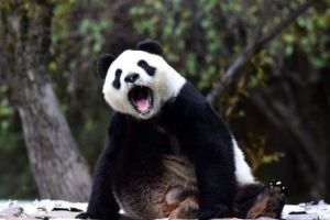 20 pictures of pandas that'll make your day