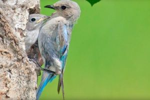 How mother birds give their chicks a competitive edge
