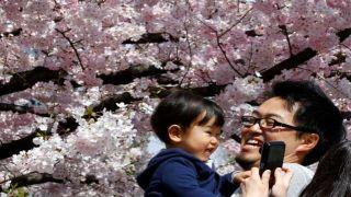 Blooming cherry blossoms 2015