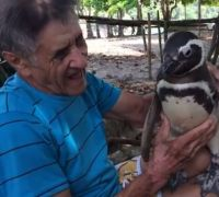 Penguin swims 5,000 miles a year to see his human BFF